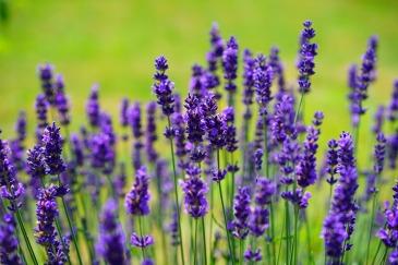 lavender-1117275_1920