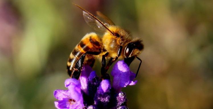 lavender bee-1040521_1920