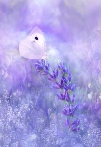 lavender nature-3054710_1920